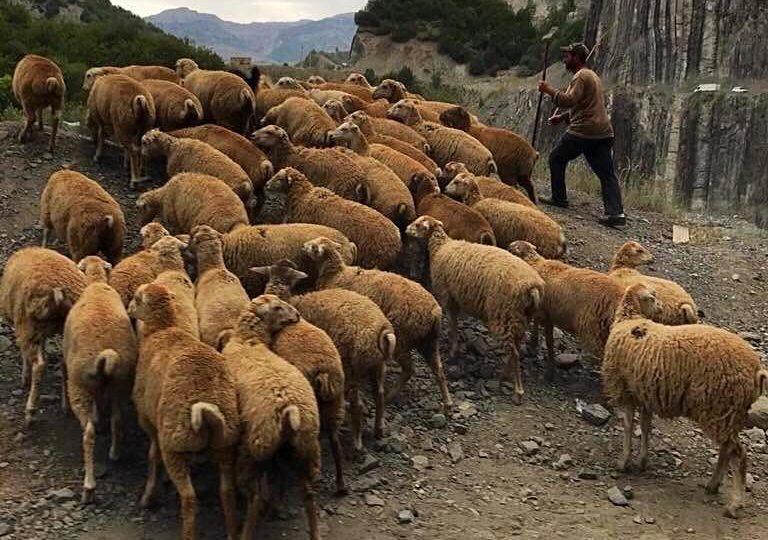 sheeps Lahij